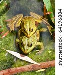 Couple of frogs joined together in a pond in summer - stock photo