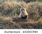 endangered black footed ferret | Shutterstock . vector #642001984