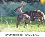 A Baby Nyala Feeding