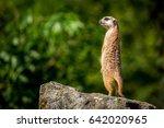 Meerkat Family Member  Suricat...