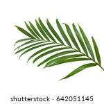 green leaves of palm tree... | Shutterstock . vector #642051145