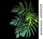 green leaves of monstera... | Shutterstock . vector #642063139
