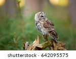 tawny owl or brown owl  strix... | Shutterstock . vector #642095575