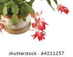 Zigokaktus Flower In A Pot...