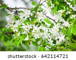 Apple Tree Twig With Flowers...