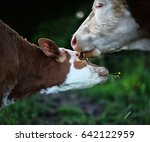 cow mother and calf with yellow ... | Shutterstock . vector #642122959