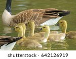 Canadian Geese Swimming In A...