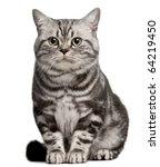 Stock photo brazilian shorthair cat year old sitting in front of white background 64219450
