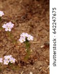 Small photo of Pink Virginia spring beauty flower, Claytonia virginica, is a wildflower that blooms in spring in America