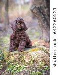 american cocker spaniel... | Shutterstock . vector #642260521