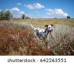 Stock photo dalmatian dog running in field 642263551