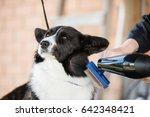 welsh corgi cardigan is being... | Shutterstock . vector #642348421
