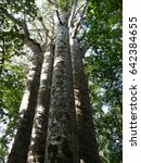"""Small photo of This cluster of four kauri trees growing close together known as """"Four Sisters"""".are located in Waipoua native forests in Northland of New Zealand."""