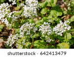 Small photo of Blossom of arabis - sping flower. White alpine Rockcress in spring garden.