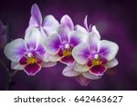orchid flowers closeup on dark... | Shutterstock . vector #642463627