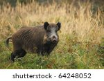 Wild Boar In Grass  Before A...