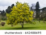 Yellow Flowers Of Acacia...