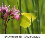 Brimstone Butterfly  Goneptery...