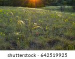 Small photo of Stipa borysthenica, feather grass, hills, sunlit feather grass, needle grass, wild grasses