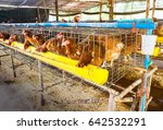 laying hen in cage at organic... | Shutterstock . vector #642532291