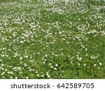 Green meadow with wild daisy flowers - stock photo