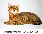 Small photo of benga lcat laying on white background and watching to the top
