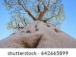 big baobab next to the camera.... | Shutterstock . vector #642665899