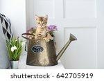 Little Kitten In A Watering Ca...