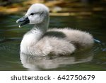Close Up Of A Cygnet Swimming...