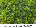 fresh green grapevine in a...