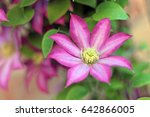 pink and white clematis flower... | Shutterstock . vector #642866005