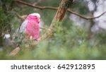 galah  rose breasted cockatoos  ... | Shutterstock . vector #642912895