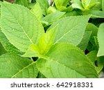 green leaves  fresh plant | Shutterstock . vector #642918331