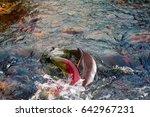 When Salmon Are Running ...