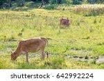cow grazing in the field | Shutterstock . vector #642992224