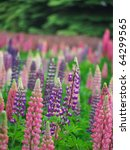 Colorful Lupines.