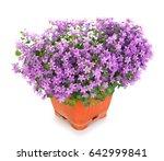 lobelia flower in a pot....   Shutterstock . vector #642999841