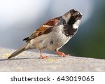 inquisitive house sparrow ... | Shutterstock . vector #643019065