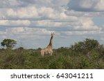 wild giraffe mammal africa... | Shutterstock . vector #643041211