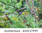 Small photo of Lesser Cuckoo-shrike (Lalage fimbriata compta) in Simeulue Island, western Sumatra, Indonesia