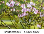blossoming lilac rhododendron...   Shutterstock . vector #643215829