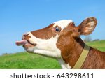 Cow Calf Standing In A Field...