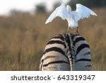 A White Cattle Egret Landing...