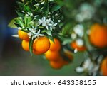 Branch Of An Orange Tree With...
