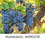 Blue wine grapes just before the harvest - stock photo