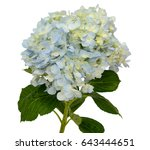 branch of light blue hydrangea... | Shutterstock . vector #643444651