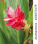 Small photo of red ginger flower green leaf background, pink corn ginger or ostrich plume. (alpinia purpurata)