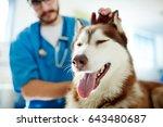 Stock photo cute husky enjoying while veterinarian cuddling him 643480687