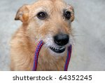 Stock photo cute scruffy terrier dog with the leash in her mouth ready for a walk 64352245