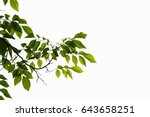 green leaves and branches on... | Shutterstock . vector #643658251